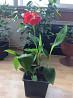 Цветочное растение Канна