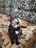 Ищем кота шотландца вислоухого для вязки