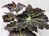 Бегония Клеопатра-красивое и полезное растение