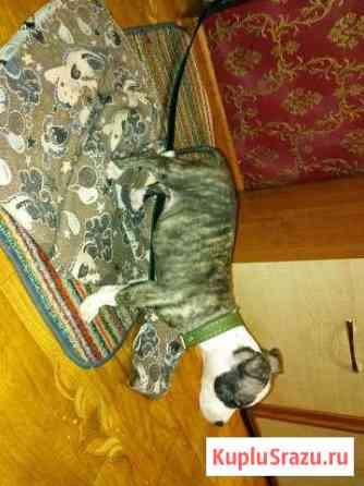 Щенок американского стаффордширского терьера Кызыл