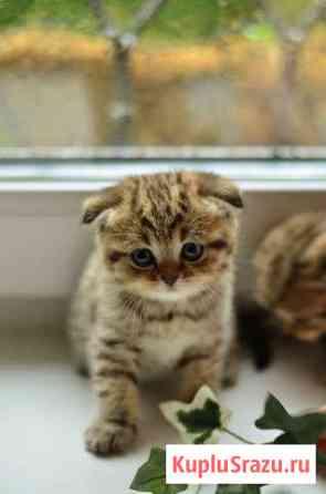 Шотландские котята Чебоксары
