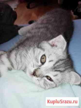 Британские котята Железнодорожный