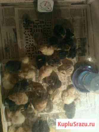 Цыплята Апшеронск