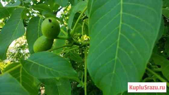 Зеленый грецкий орех Крыловская