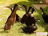 Утки индийский бегунок
