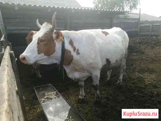 Корова Терновка