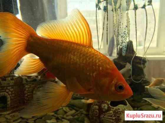 Золотая рыбка- «Комета» Хабаровск