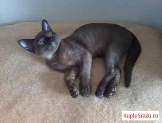 Бурманский котенок Москва