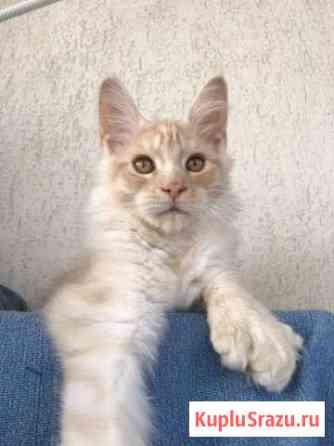 Котёнок Мейнкун полидакт Москва