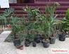 Саженцы Веерные пальмы