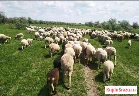 Овцы бараны Краснодар
