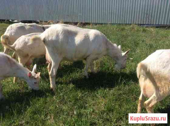 Дойная коза зааненской породы Краснодар
