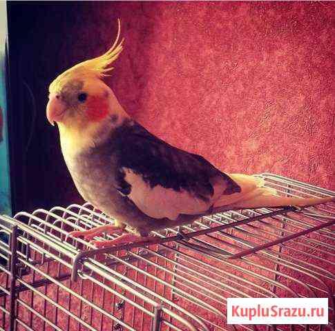 Попугай корелла Шебекино