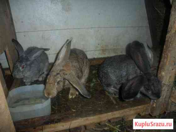 Кролики породы фландр Ульяновск