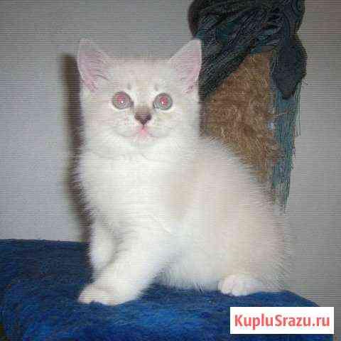 Красивые Британские котята разного возраста Томск