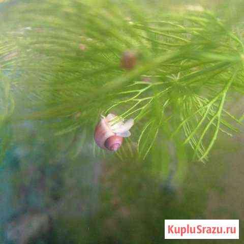 Рыбки,улитки и зелень в аквариум Хабаровск