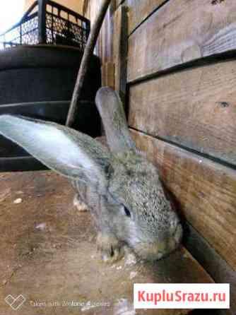 Кролики Фландеры Тосно