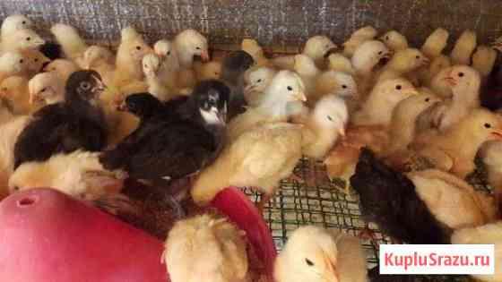 Цыплята утята бройлеры гусята Элиста