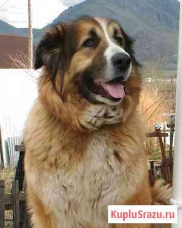 Кавказская овчарка Дальнегорск