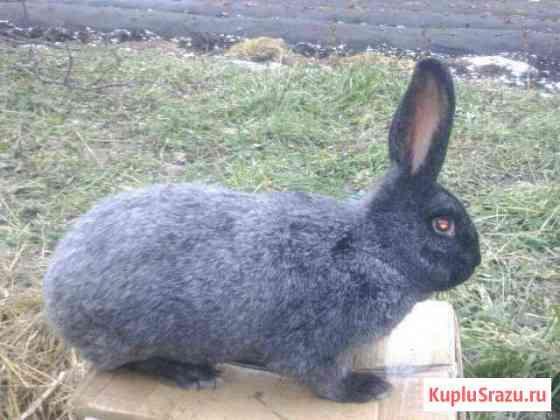Кролики. Полтавское серебро Севастополь