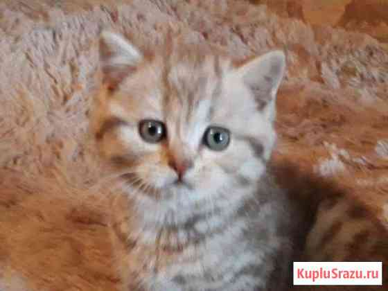 Британские котята Дубовая Роща