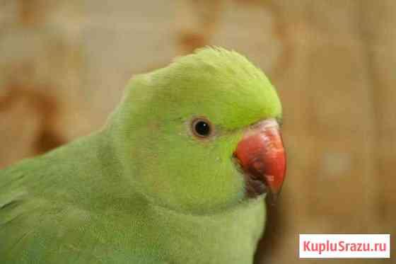 Ожереловые попугаи(молодежь) Краснодар