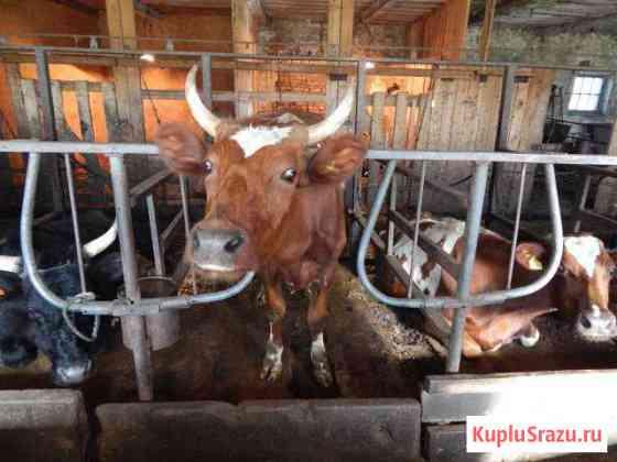 Молоко коровье непастеризованное охлажденное Нурма