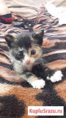 Отдаю трехцветного котенка Саперное