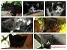 Пушистые,гиперактивные котята,непоседы. Метисы бри