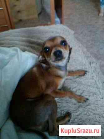 Отдам собачку маленькой породы. Возрас один год.Ла Братск
