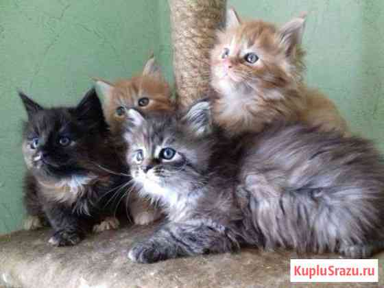 Котята породы Мейн Кун Магадан