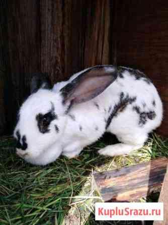 Продам кроликов породы бабочк Липецк