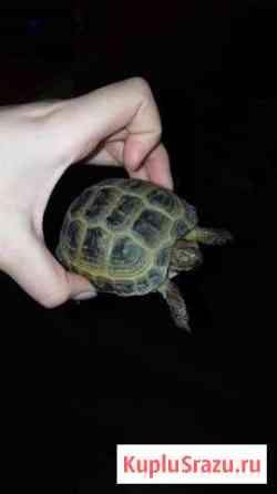 Сухопутная черепаха Магадан