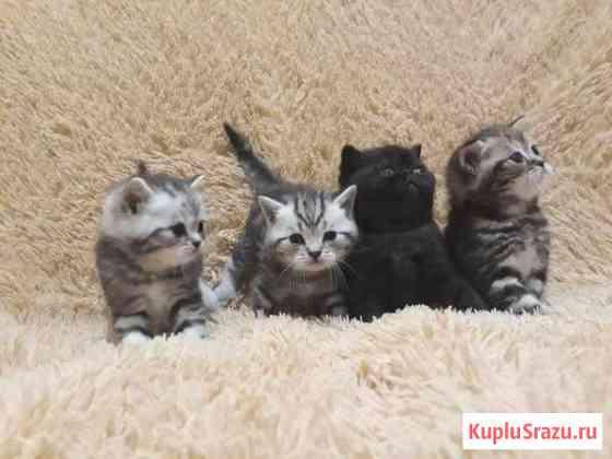 Британские котята Ярославль