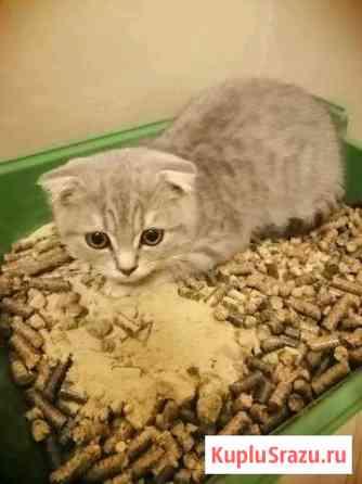 Продам котёнка девочка, шатландка чистокровная. Це Анапа
