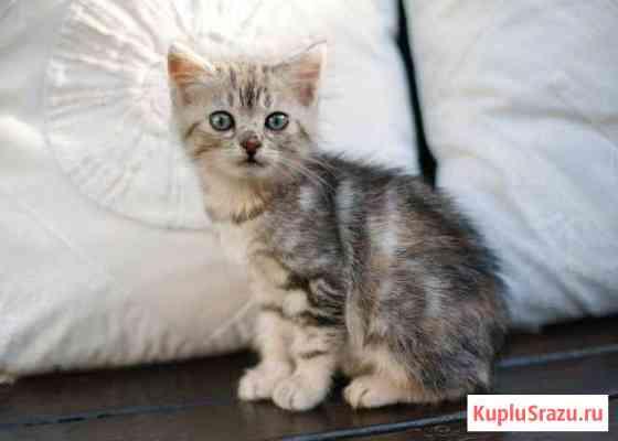 Котенок с мраморным окрасом Анапа