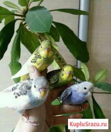 Волнистые попугаи (ручные птенцы от 1 мес) Ростов-на-Дону