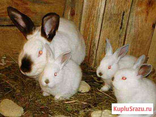 Калифорнийские кролики Волгоград