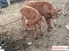 Корова бычки тёлка