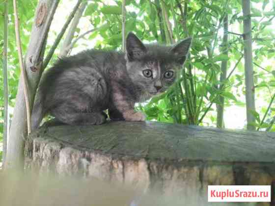 Котенок черепаховый окрас Чаплыгин