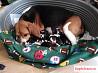 Замечательные щенки Бигля