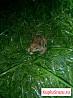 Лягушка кормовая