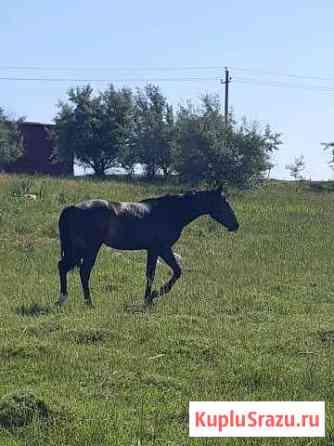 Конь Ставрополь