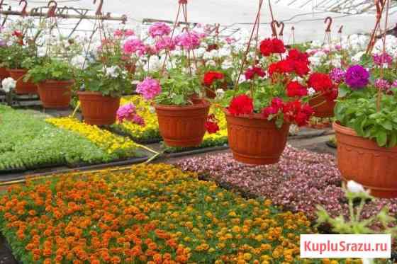 Летние цветы Петуния Бархатцы, Сальвия, Алисум итд Сарапул