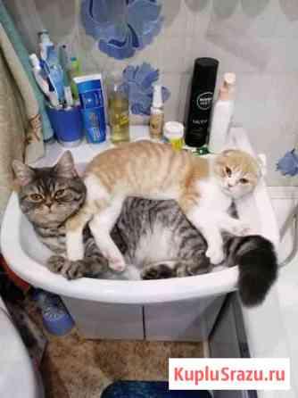 Шотландские кот и кошка Екатеринбург