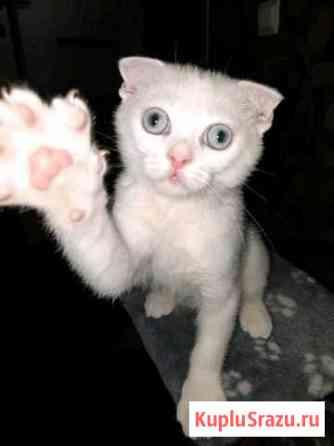 Вислоухий кот Стерлитамак