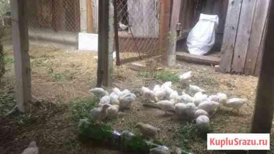 Цыплята Севастополь