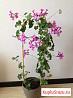 Герань Пеларгония Цветы