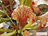 Саррацения Фиона (Хищное растение)