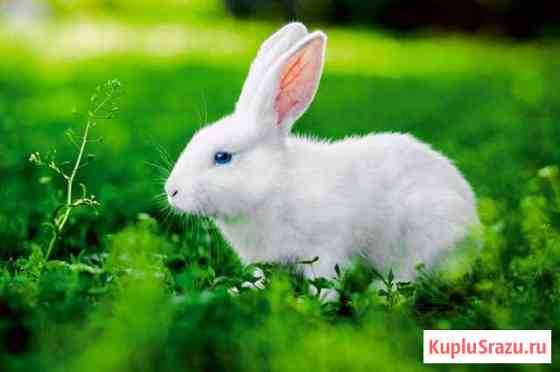 Декоративный белый кролик с голубыми глазами Ставрополь
